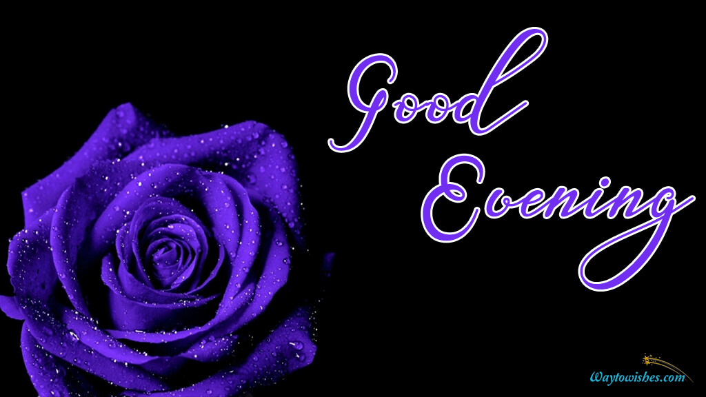 Good Evening Purple Rose