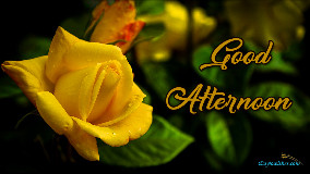 Good Afternoon Yellow Rose