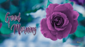 Good Morning Purple Rose
